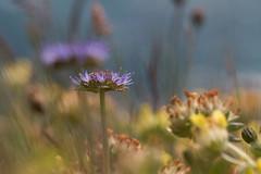 windswept (zip po) Tags: sheepsbitscabious coppercoast cowaterford ireland wildflowers summer cliff dandelion clover macro coast seaside