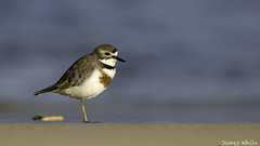 FO8T4745-Edit (james white Photo) Tags: doublebandedplover bird plover scorebird migration charadriusbicinctus