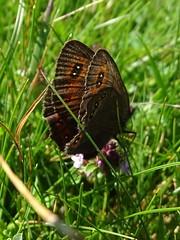 Erebia Oeme Port de l'hers 2017 06 18 (Froggy Birder) Tags: portdelhers papillon rhopalocères butterfly erebiaoeme ariège moirédesluzules