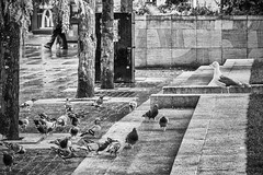 Come on guys, which way is the sea? (tootdood) Tags: canon70d piccadilly blackandwhite come guys which way is sea gull pigeons wild life