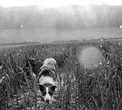 23/52 Rain rain go away (meg price) Tags: 52weeksfordogs flynn bordercollie dog crops rain littledoglaughedstories