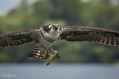 Blythe Ferry Osprey 8 (Jason Blalock) Tags: osprey pandionhaliaetus fisheagle seahawk riverhak fishhawk bird birdofprey raptor avian