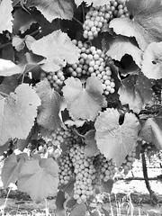 #vitisvinifera #wine #grapes #vineyard #almostready #winetime #california 🍷 (Christina Barcelles) Tags: vitisvinifera wine grapes vineyard almostready winetime california