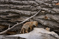 Peek-a-Boo! (pdxsafariguy) Tags: usa wyoming nationalpark grandteton tree mammal kit fox nature wildlife young animal baby den redfox spring pup canine family vulpesvulpes log tomschwabel