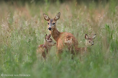 Home is where the heart is (hvhe1) Tags: wildlife nature wild animal baby roedeer capreoluscapreolus reh chevreuil fawn doe reegeit reekalf tweeling twins home tonden thenetherlands holland family grass hvhe1 hennievanheerden specanimal