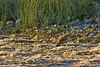 Linotte mélodieuse. (jipebiker) Tags: hâbledault somme picardie france réserveornithologique nature oiseau bird animal linottemélodieuse commonlinnet
