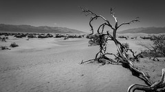 Death Valley (joseph_donnelly) Tags: deathvalley death valley us usa bw tree desert salt dry