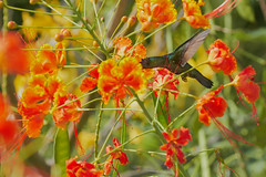 1416 (ronmcmanus1) Tags: antigua bird nature outdoors wildlife jollyharbour stmarysparish antiguabarbuda
