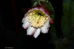 Cereus Peruvianus h 21.41 (Paolo Bonassin) Tags: cactaceae cactacee cactus succulente cereus cereusperuvianus flowers