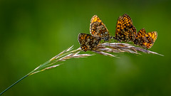 Family butterflies (Jean-Luc Peluchon) Tags: macro lumix panasonic fz1000 papillon nature sauvage couleur animal vert plante bokeh verdure