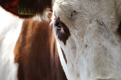 Olympic  Pirolo Fasto (excellentzebu1050) Tags: dairycows livestock cattle cow closeup animalportraits animal heifer farm coth5