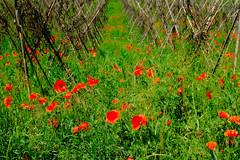 poppy field 2 (lotti roberto) Tags: langhe piemonte poppy papaveri paesaggio red green italy italia piemont