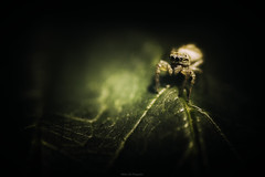Saltique (Stéphane Sélo Photographies) Tags: france macro pentax pentaxk3ii printemps arraignée insecte libellule nature saltique
