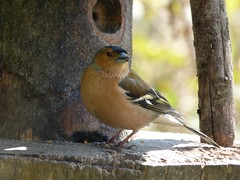 Food (Lexie's Mum) Tags: walks walking coombecountrypark coombe coombeabbey warwickshire nature spring bird birds wildlife wildfowl waterfowl chaffinch