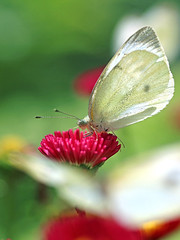 Cabbage Butterfly (Johnnie Shene Photography(Thanks, 2Million+ Views)) Tags: cabbagebutterfly butterfly commonbutterfly whitebutterfly nature natural wild wildlife perching resting awe wonder fulllength depthoffield bokeh feeding sideview feeler photography vertical outdoor colourimage fragility freshness nopeople foregroundfocus adjustment interesting animal insect bug bright luminosity vibrant korea asia lepidoptera daisy red flower plant flora wings limbs macro closeup magnified animalandplant fly canon eos80d 80d tamron 90mm f28 11 lens 배추흰나비 흰나비 나비 곤충 접사 매크로