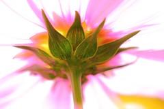 Comme dans un rêve 02 / As in a dream 02 (alainragache) Tags: hdr flower art artistique artistic sigma closup spring printemps primavera frühling canon600d brilliant saison season greatphotographers lumière light
