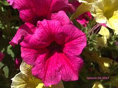 Alpujarras13. Petunias (ferlomu) Tags: almeria alpujarras andalucia ferlomu flor flower petunia