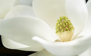 "Cincinnati – Spring Grove Cemetery & Arboretum ""Southern Magnolia - Flower�"