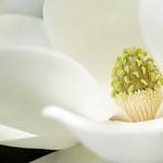 "Cincinnati – Spring Grove Cemetery & Arboretum ""Southern Magnolia - Flower"" thumbnail"
