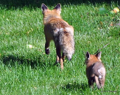 DSC_0742 (rachidH) Tags: fox renard vulpes foxcub renardeau redfox renardroux vulpesvulpes backyard frontyard wildlife sparta newjersey nj rachidh nature