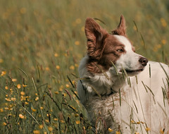 Summer wind (A child in the night) Tags: luke bordercollie summer wind grasses soft lauramarling warm drifting