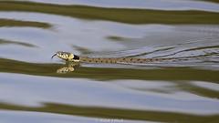 Grass Snake (Ralph J Clark) Tags: grasssnake reptile swimming surrey nikon200500mmf56