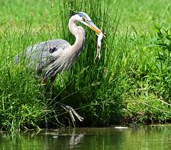 DSC_1544=2 Bird with Prey-Explored (laurie.mccarty) Tags: heron greatblueheron bird avian animal outdoor wildlife water nature nikond810 nikon birding birdwatcher birdwatching