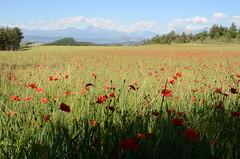 Panorama aux coquelicots (RarOiseau) Tags: hautesalpes châteauvieux montagne campagne fleur coquelicot saariysqualitypictures naturebynikon v2500