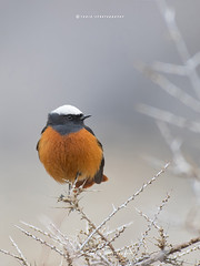 The white-winged redstart (T@hir'S Photography) Tags: white winged red start bird nature outdoors travel hunza gilgit pakistan wildlife feather orange multi color winter