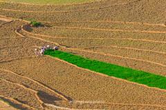 _Y2U9759.0617.Sử Pán.Sapa.Lào Cai (hoanglongphoto) Tags: asia asian vietnam northvietnam northwestvietnam landscape scenery vietnamlandscape vietnamscenery vietnamscene field morning sunlight sunny sunnymorning sunnyweather transplantingseason sowingseeds people landscapewithpeople hdr canon canoneos1dx canonef500mmf4lisusmlens tâybắc làocai sapa sửpán phongcảnh cánhđồng mùacấy đổnước buổisáng nắng nắngsớm người phongcảnhcóngười cảnhquanvớingười minimalisme tốigiản
