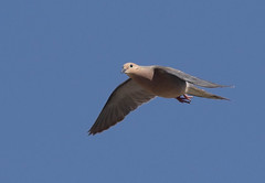 modo-m-guymon-6-16-17-tl-1-cropscreen (pomarinejaeger) Tags: guymon oklahoma unitedstates bird mourningdove zenaidamacroura