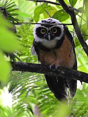 Buho de anteojos // Spectacled Owl (jvverde) Tags: spectacledowl buhodeanteojos pulsatrixperspicillata lechuzóngrandedecollar