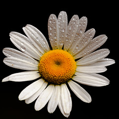 Black and White (microwyred) Tags: singleflower oxeyeddaisy events blackcolor nature flower daisy beautyinnature isolatedonblack nopeople backgrounds plant macro closeup isolated summer flowerhead blackbackground petal yellow white wildflowers