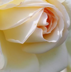 White rose 白薔薇 (shiro bara) (Kenih8) Tags: white rose olympus pen epl7 薔薇