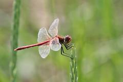Red-veined Darter ~ Sympetrum fonscolombii ~ Kelling Water Meadows (22) (Rowettia) Tags: norfolk kelling dragonflies odonata uk redveineddarter sympetrumfonscolombii