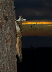 Flying squirrel (Zahoor-Salmi) Tags: flying squirrel zahoorsalmi salmi wildlife pakistan wwf nature natural canon birds watch animals bbc flickr google discovery chanals tv lens camera 7d mark 2 beutty photo macro action walpapers bhalwal punjab