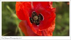 Flanders Poppy (Paul Simpson Photography) Tags: poppy poppies flowers flower imagesof imageof photoof photosof paulsimpsonphotography sonya77 red redflower nature naturalworld flanderspoppy photosofnature petals june2017