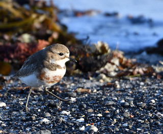 Double-banded Plover - striding out