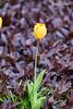20170420-DSC_9636 (compidoc) Tags: bluete blumenpflanzen hamburg kirschbluete plantenunblomen tiere tulpe vogel zustand
