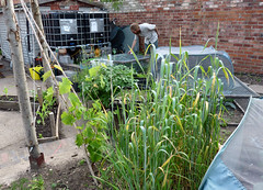 Erleigh Road Community Garden (4) (karenblakeman) Tags: erleighroadcommunitygarden erleighroad reading uk 2017 june vegetables food4families berkshire rfgn readingfoodgrowingnetwork