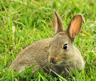 Rabbit 'Kitten' at Rising Sun Country Park