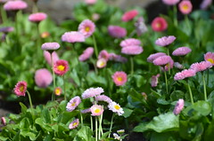 Flowers (dfromonteil) Tags: flowers fleurs pink green yellow rose vert jaune colors couleurs nature bokeh light lumière