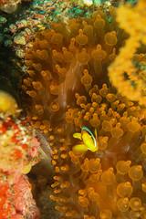Anemone rosso e pesce Pagliaccio. Anemone and his Clark's Anemonfish. (Amphiprion Clarkii) (omar.flumignan) Tags: pesce fish pagliaccio anemone clarksanemonefish anemonerosso amphiprionclarkii dive immersione atoll atollo felidhoo maldive maldives holiday vacanza canon g7xmk2 fantasea fg7xmk2 ikelite ds51 macro 5rocks