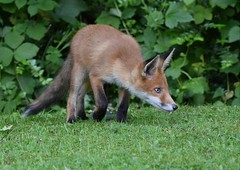 Frankie, the biggest of the cubs (Clare_leeloo) Tags: fox cub eyes nature urban nikon garden