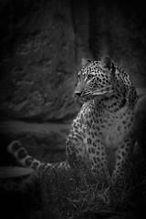 cute (marine.rousselot) Tags: leopard animal animalier guepard sauvage noir et blanc canon 70200 mm 5d zoo