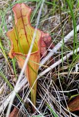 A pitcher plant along the Brokenhead Wetland Interpretive Trail in Manitoba, Canada. (Rob Swystun) Tags: brokenhead wetland interpretive trail manitoba canada pitcher plant grass green red brown carnivorous