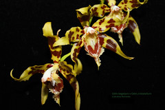 Odm.kegeljani x Odm.cristatellum 6311 (A. Romanko) Tags: odontoglossum