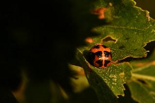 Ladybug's cousin?