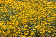 IMG_0130_132 Pebble Beach HDR (vicjuan) Tags: 20170625 美國 usa 加州 california montereycounty hdr tonemapping pebblebeach geotagged geo:lat=36609207 geo:lon=121954738 花 flower