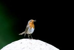 rougegorge familier ( Erithacus rubecula ) Brech 170622c2 (papé alain) Tags: oiseaux passereaux muscicapidés rougegorgefamilier erithacusrubecula europeanrobin brech morbihan bretagne france